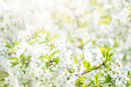 Floral spring background, soft focus. Branches of blossoming bird-cherry in spring outdoors macro in vintage light blue pastel colors.