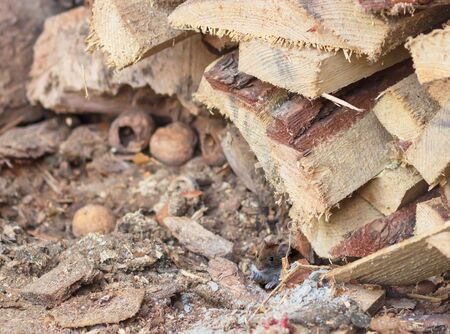 Nosi Wood Mouse looking in the eyes in firewood