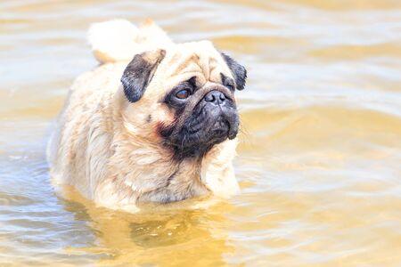 Cute little pug puppy floating in a river. Swim dog