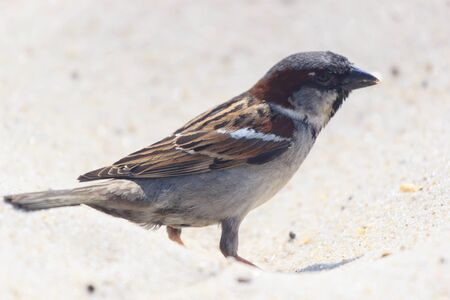 American Tree Sparrow Hopping. clouse-up