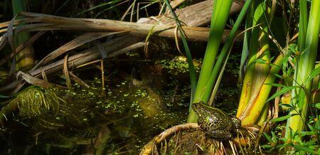 frog in natural habitat. Wild lake