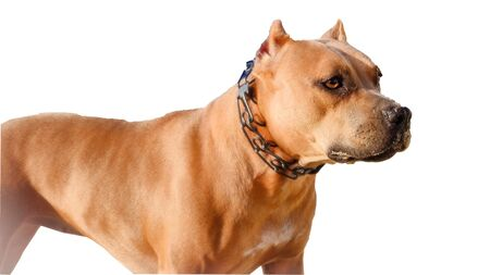 American Staffordshire Terrier , isolated on white, male