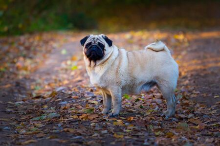 Beige pug dog sitting on the leaves in autumn Banco de Imagens