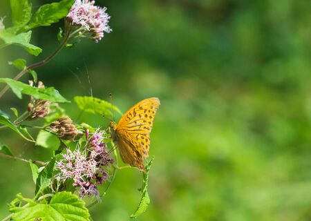 Closeup butterfly on flower Common tiger butterfly . Space for text