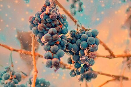 Freez bunch of grapes at winter, Ice wine, frost fruit Banco de Imagens