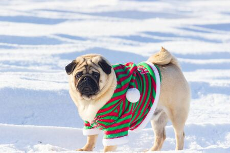 Pug Dog with Christmas elf costume run on a snow at cold winter day, Stock Photo