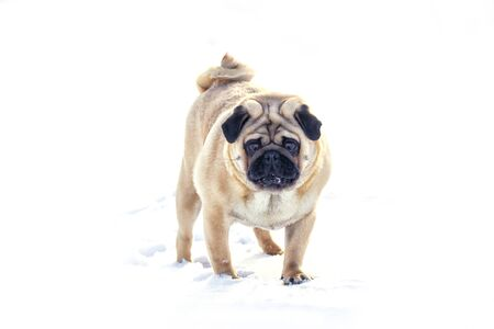 Big Pug standing in front of a white background