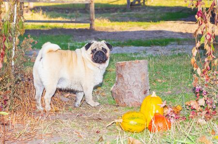 pug stands in autumn foliage, in the park autumn. Dog