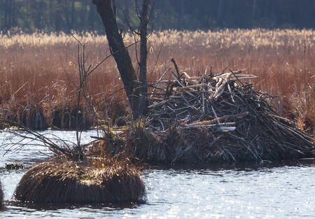 Sticks of a European Beaver lodge on swump forest lake,