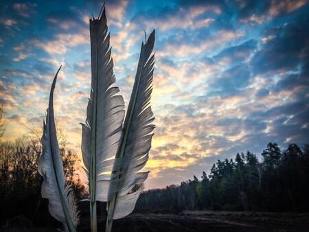 wild goose feathers on sunset with cloudy sky background. Copy space