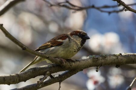 House sparrow perched on a tree branch. Nature Stock Photo - 147936218