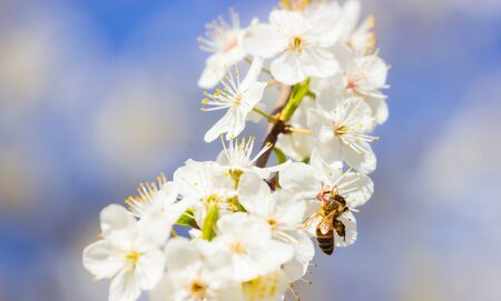 Bee flying, bee on the flower, Bloom tree nature Stock Photo - 147936977