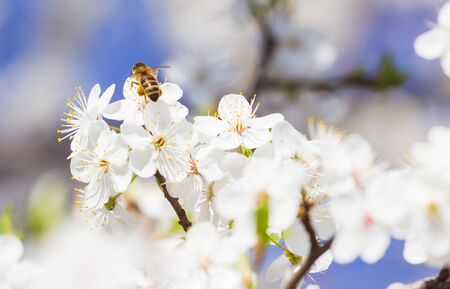 Bee flying, bee on the flower, Bloom tree nature