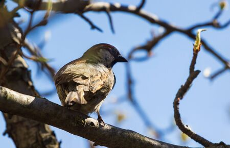 Male Tree Sparrow Perched in a Tree. Nature