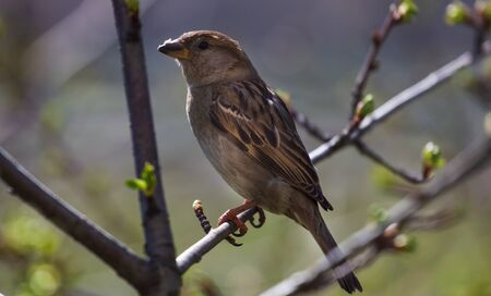 House sparrow perched on a tree branch. Nature