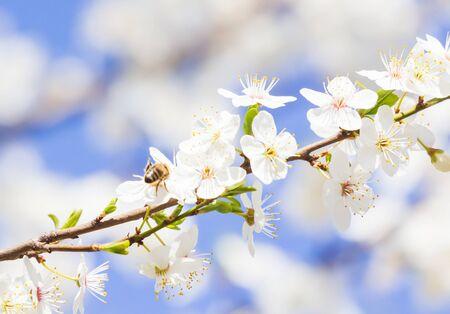 Spring blooming sakura cherry flowers branch. Nature