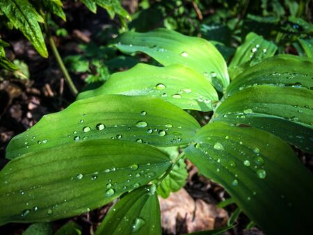 leave with water drops background with big and small drops. Nature dew Stock Photo