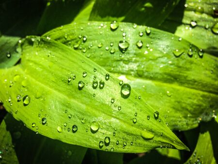 Water drops on fresh green leaf, morning dew background