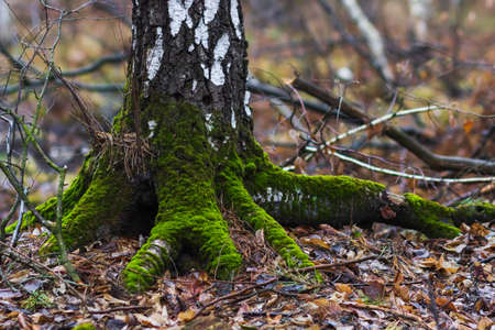Birch tree with moss in forest