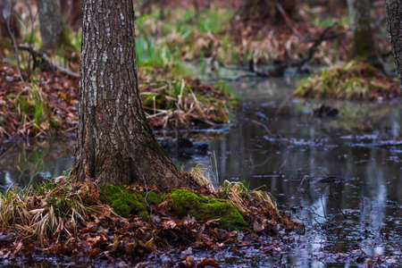 swamp trees scene in the forest Stock Photo