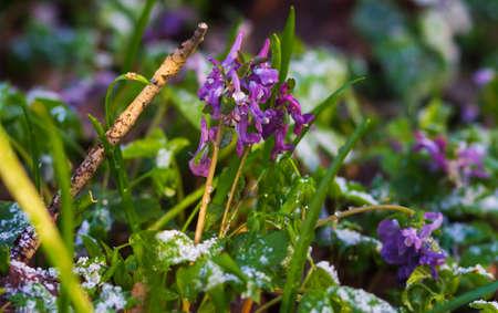 Closeup of single winter flower peeping through snow