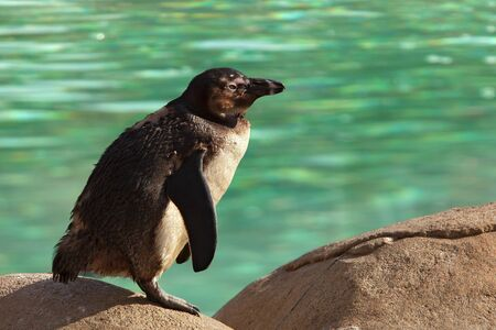 Humboldt Penguin Standing on Rock Beside Green Water Spheniscus Humboldti photo