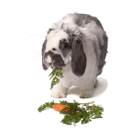 lop eared: Cute Grey and White Lop Eared Rabbit eating Carrot and Green Vegetables On White Background