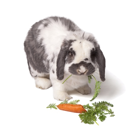 lop: Cute Grey and White Lop Eared Bunny Rabbit eating Carrot and Green Vegetables On White Background Stock Photo