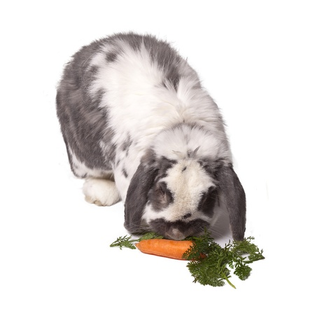 lop eared: Cute Grey and White Lop Eared Bunny Rabbit Bending Down to Eat Carrot and Green Vegetables On White Background Stock Photo