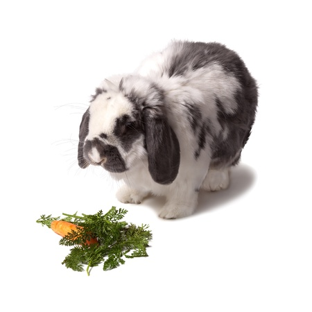 lop eared: Cute Grey and White Lop Eared Bunny Rabbit With Carrot and Greens On White Background Stock Photo