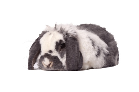 lop eared: Cute Grey and White Lop Eared Bunny Rabbit Lying Down Resting On White Background Stock Photo