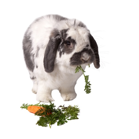 lop eared: Cute Grey and White Lop Eared Bunny Rabbit Standing Eating Carrot and Greens On White Background