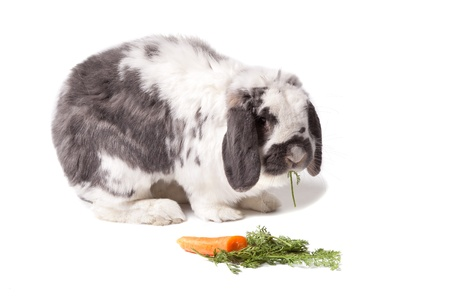 facing right: Cute Grey and White Lop Eared Bunny Rabbit Facing Right eating Carrot and Green Vegetables On White Background