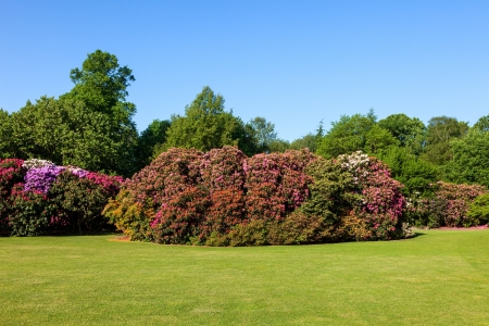 Colorful Rhododendron Bushes in Beautiful Lush Sunny Garden under Blue Sky in Daytime photo