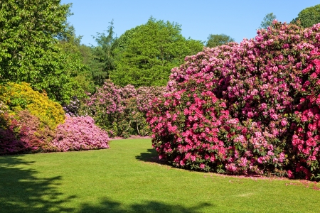 Rhododendron and Azalea Bushes in Beautiful Summer Garden in the Sunshine photo