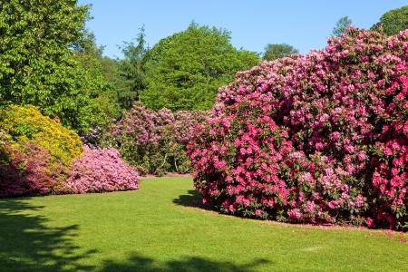 Rhododendron and Azalea Bushes in Beautiful Summer Garden in the Sunshine