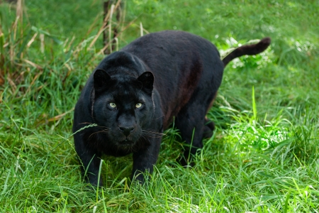 big cat: Black Leopard Hunting in the Long Grass Panthera Pardus