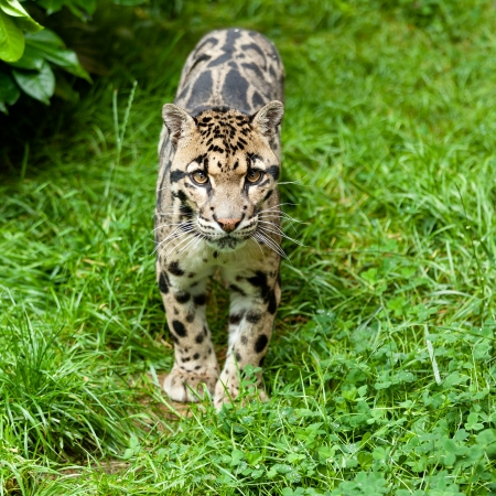clouded leopard: Clouded Leopard Standing on Grass Neofelis Nebulosa