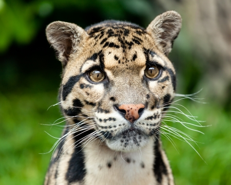 Head Shot Portrait of Beautiful Clouded Leopard Neofelis Nebulosa