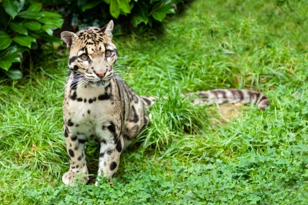 clouded leopard: Clouded Leopard Stitting on Grass Pensive Neofelis Nebulosa