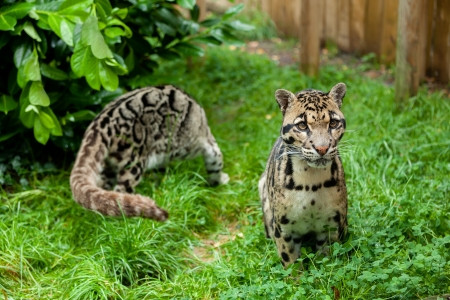 clouded leopard: Male Clouded Leopard Posing with Female in Background Neofelis Nebulosa