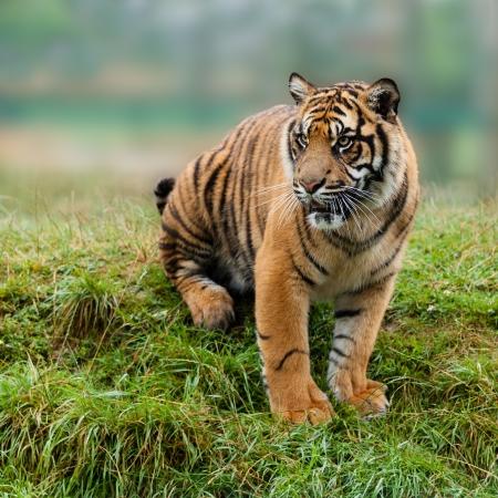 sumatran tiger: Tigre di Sumatra Seduto su Grassy Banca Panthera Tigris Sumatrae