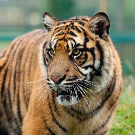 panthera tigris: Head Shot of Beautiful Sumatran Tiger Panthera Tigris Sumatrae