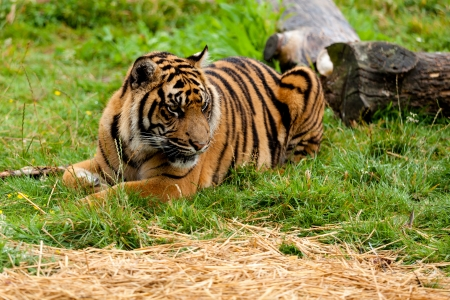 Sumatran Tiger Lying Down on the Grass Panthera Tigris Sumatrae photo