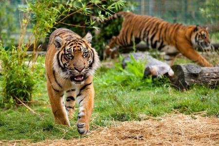 sumatran tiger: Two Young Sumatran Tigers Running and Playing Panthera Tigris Sumatrae Stock Photo
