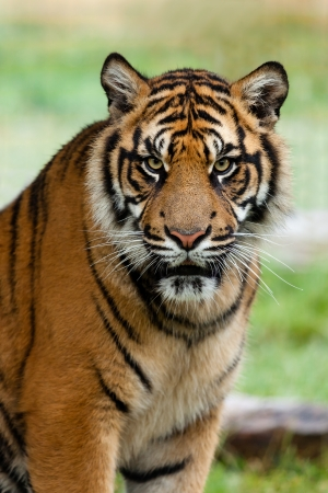 fierce: Portrait of Beautiful Sumatran Tiger Panthera Tigris Sumatrae Stock Photo