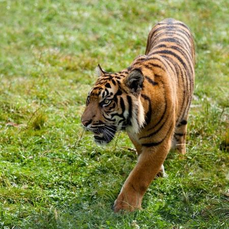 panthera tigris: Sumatran Tiger Pacing Through Grass Panthera Tigris Sumatrae