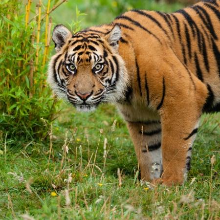panthera tigris: Head Shot of Sumatran Tiger in Grass Panthera Tirgris Sumatrae Stock Photo