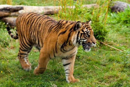 Side Portrait of Young Sumatran Tiger Panthera Tigris Sumatrae