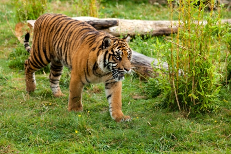 panthera tigris: Young Sumatran Tiger Prowling Through Greenery Panthera Tigris Sumatrae